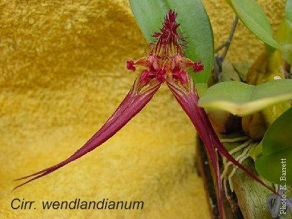 Cirrhopetalum wendlandianum